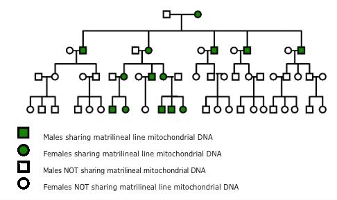 Mitochondria contexofo all mitochondria are maternally inherited ccuart Choice Image